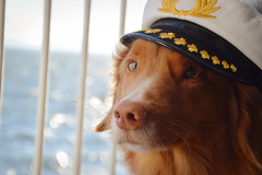 Disconcerted Captain (sk Ki) Tags: portrait orange dog water hat ferry boat duck bc captain tofino ferries toller nsdtr novascotiaducktollingretriever