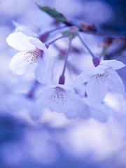 Sakura effetto - macro (H.H. Mahal Alysheba) Tags: flower japan cherry tokyo spring dof bokeh  cherryblossom sakura gx7