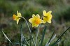 Well lit Daffs (Trevor Watts Photography) Tags: uk england march spring nikon somerset gb nikkor 2015 300f4 14teleconverter d7000