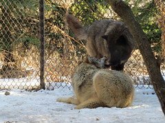 Wolves (bookworm1225) Tags: zoo march minnesotazoo 2015 tropicstrail minnesotatrail