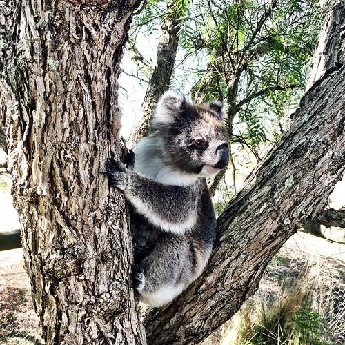 Koala Blue I do love you. French Island.