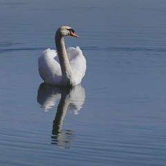 Sa majesté **--- ° (Titole) Tags: blue reflection swan squareformat friendlychallenges titole nicolefaton