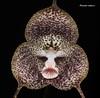 Dracula radiosa (Cattleyamasdevallia) Tags: orchid dracula orchidée cattleyamasdevallia