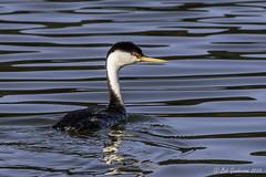 Westren Grebe (Bob Gunderson) Tags: sanfrancisco california birds northerncalifornia boathouse lakemerced grebes westerngrebe aechmophorusoccidentalis canoneos7dmarkii