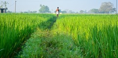 Morning Walk (Niranjan Ramesh) Tags: morning india green field grass dawn nikon village walk madras farmer chennai tamilnadu villager cwc nemam poonamallee d5100