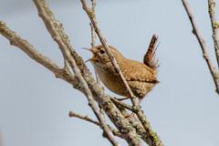 Winterkoning-8661 (Djien) Tags: vogels oostvaarderplassen