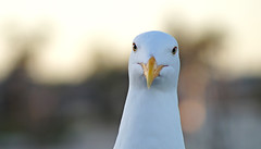Mine (estuoh) Tags: ocean sea wallpaper food blur green slr bird beach yellow closeup photoshop lens photography photo back blurry eyes war mine close background seagull gull sony picture evil manipulation telephoto level stare hungry dslr a58 booked 1280x800