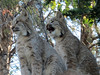 Lynx (3) (bookworm1225) Tags: zoo october 2014 minnesotazoo northerntrail tropicstrail