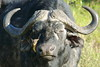 Get out of My face (Hassaneini) Tags: kenya capebuffalo oxpecker كينيا