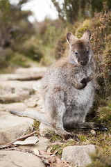 Walls of Jerusalem Wallaby