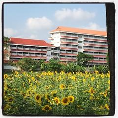 ดอกทานตะวันบานหลังบ้าน #sunflower #flower #field #sunny