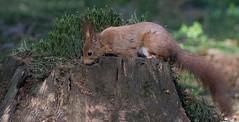 DSC08236rawcon_b (ger hadem) Tags: veluwe zwijn eekhoorn gerhadem