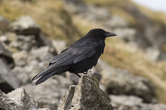 Carrion Crow (kevinclarke1969) Tags: wales crow carrion snowdonia common