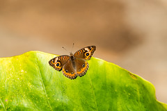 Amazon rain forest Peru - butterfly (arthur.harrow) Tags: amazonbasin riomadrededios puertomoldonado rainforest butterfly haciendaconception southamerica peru inkaterra