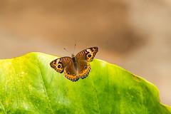 Amazon rain forest Peru - butterfly (arthur.harrow) Tags: amazonbasin riomadrededios puertomoldonado rainforest butterfly haciendaconception southamerica peru inkaterra