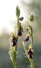 20160526-024F (m-klueber.de) Tags: flora orchidaceae orchidee rhn ophrys fliegen 2016 insectifera ragwurz europische fliegenragwurz rhnflora ophinse mitteleuropische mkbildkatalog 20160526 20160526024f