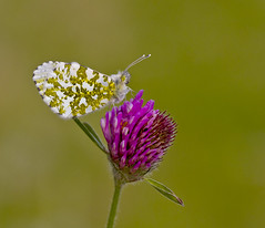 O - Tip Anthocharis cardamines (Ivan Lynas Nature Photography) Tags: