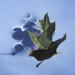 Caustics (fksr) Tags: shadow stilllife water leaf floating refraction blackoak caustics