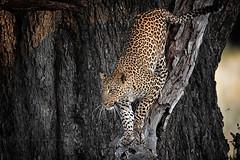 Leopard (Jose Antonio Pascoalinho) Tags: africa nature animal fauna female feline outdoor biosphere nat leopard bigcat botswana predator moremi carnivore okavango biodiversity bigfive zedith