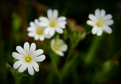 130.365.2016 (johnny the cow) Tags: flowers plant wales photo blossom diary cymru aberystwyth collection bloom greater wildflowers 365 catalogue ceredigion lesser hedgerow stitchwort 2016 aphotoaday 366 llanafan