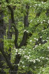 Yosemite-Dogwood (rbeebephoto) Tags: forest may yosemitenationalpark dogwood sierranevada springtime yosemitevalley springblossoms yosemitepark pacificdogwood 2016richarddbeebe