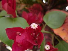 DSC04065 (familiapratta) Tags: flowers flores flower nature iso100 sony natureza flor hx100v dschx100v