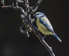 Blue Tit with Nikon D810 (swanseajack2013) Tags: blue garden nikon tit tits singing sigma full frame fx 70300mm bluetit teleconverter kenko 14tc f4556 d810