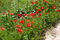 Otranto walk - poppies (dgourmac) Tags: otranto