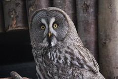 (dawncallowhill) Tags: bird owl birdofprey shocked wideeyes