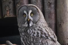 (dawncallowhill) Tags: bird owl birdofprey shocked wideeyes