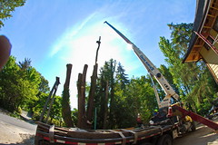 IMG_9816 (rogerbtree) Tags: seattle trees chainsaw logging cranes arborist treeremoval ropeaccess treeservice lakeforestparkwa