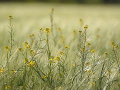 Cultiver la différence **--- °-° (Titole) Tags: weeds titole nicolefaton field barley friendlychallenges diamondsaward challengeyouwinner