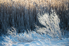 Winter morning in Karlstad (- David Olsson -) Tags: morning winter plants cold reed nature sunrise landscape dawn early nikon frost sweden outdoor january karlstad handheld fx 70200 f4 vr januari d800 70200mm vrmland 2016 sjstad 70200vr davidolsson