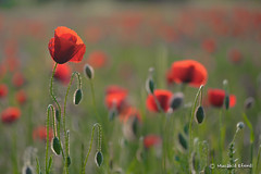 MME_4137 (mucahidefendi) Tags: flowers nature nikon greece poppies