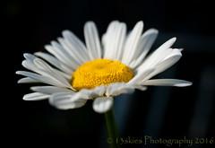 Mornings and smiles (13skies) Tags: morning summer sunlight flower macro happy petals backyard close bright sony growth negativespace daisy yellowandwhite morningsunlight sonyalpha100