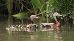Black-bellied Whistling-Ducks and 12 Ducklings! (stephaniepluscht) Tags: bon black river duck alabama ducks ducklings bellied whistling 2016 blackbellied secour whistlingducks