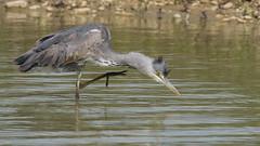 Hron cendr (Jean Louis Bou) Tags: bird ardeacinerea oiseau greyheron hroncendr ardids plcaniformes mazresddoarigefrance