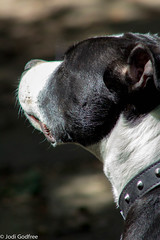 Duncan gazing (dave and jodi piddington) Tags: urban dog pets art dogs animals photoshop bokeh profile clarity staff bully staffie staffordshirebullterrier bullterrier hdr lightroom bullybreed