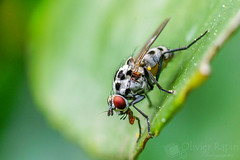 La petite blanche (Olivier Rapin) Tags: macro nature insect insecte mouche tamron90mmmacro macrophotographie sonyalpha77