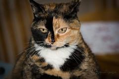 Isis, Waiting (Donald.Gallagher) Tags: usa cats color nature animals horizontal de tortoiseshell northamerica felines delaware mammals isis typeportrait pikecreek woodcreek nikonflickraward