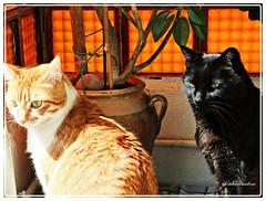 -Luki y Chuli (adioslunitaadios) Tags: macro gato fujifilm mascota pelirrojos gatocomn