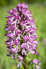 Monkey orchid (Captainchaoz) Tags: orchid monkey
