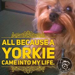 Start this sentence (itsayorkielife) Tags: yorkiememe yorkie yorkshireterrier quote