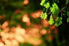 golden sunlight (gwuphd) Tags: sunlight leaves diy bokeh 85mm f16 isco cineluxxenon