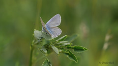 Bläuling (Lycaenidae) /  butterfly (Oerliuschi) Tags: macro butterfly panasonic falter ostsee zingst deich bläuling fluginsekt lumixgx80