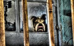 Doggie in the Window (KnightedAirs) Tags: dog english window boston digital point photography photo nikon bulldog terrier isabel hdr gotti d5200