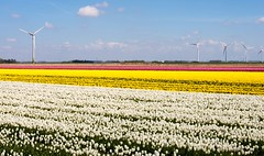 _DSC2767 (durr-architect) Tags: sky plant flower color colour field bulb landscape bright outdoor flowerbed tulip fields serene dronten flevoland oostelijk