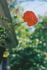 Ektar 6/14 (connorbrustofski) Tags: flowers trees sunset red portrait macro silhouette architecture vermont kodak bokeh doubleexposure middlebury ceiling contax staircase converse yashica vt dandelions ektar ektar100