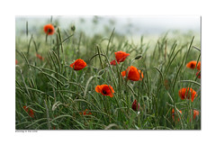 Blowing in the wind (hehaden) Tags: flowers red wild sussex windy poppies southdowns
