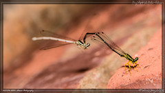 Courtship (kelvinj_funlab) Tags: macro nikon bugs malaysia tamron damselfly perlis kenkoextension d810 funlab nissini40 kelvinjong tamron90mmf28spdimacro11vcusd